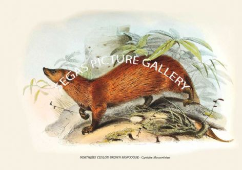 Fine art print of the NORTHERN CEYLON BROWN MONGOOSE - Cynictis Maccarthiae by Zoological Society of London -Animals 1848-60
